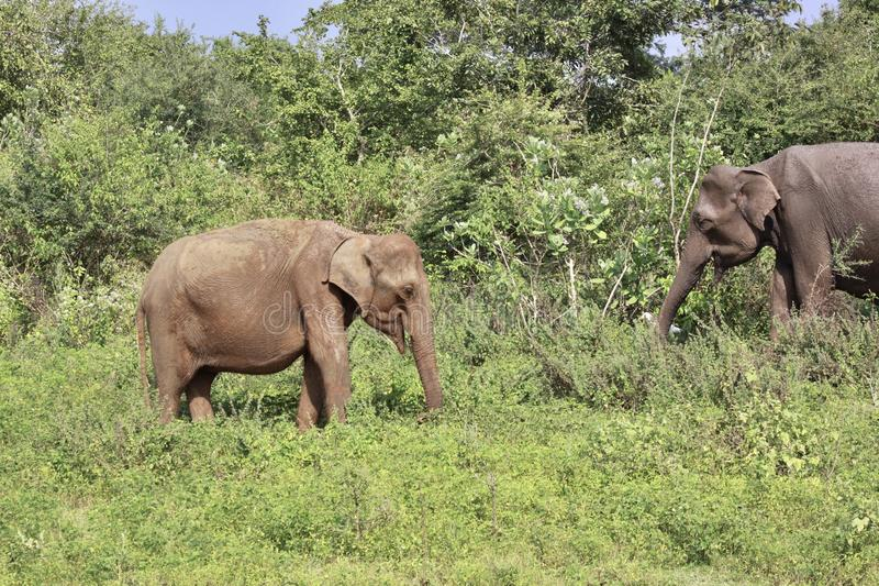 Two elephants. In a jungle royalty free stock photography