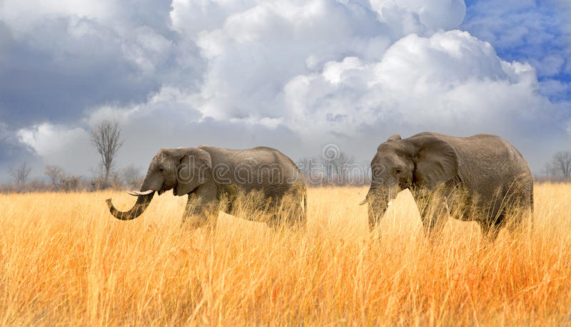 Two elephants walking through tall dried grass in Hwange National park with a cloudy sky backdrop. Two elephants walking through the very dry parched plains in stock photo