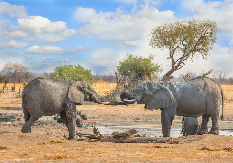 Two elephants at a waterhole interacting with each other Zimbabwe, Southern Africa stock photos