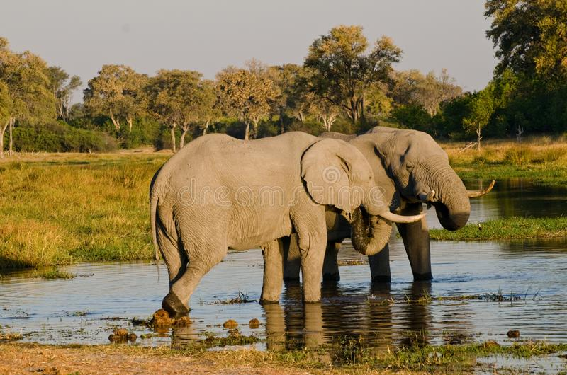 Two elephants at a Watering Hole. Two elephants who are obviously friends share a drink at a watering hole in Botswana`s Moremi Game Reserve stock images