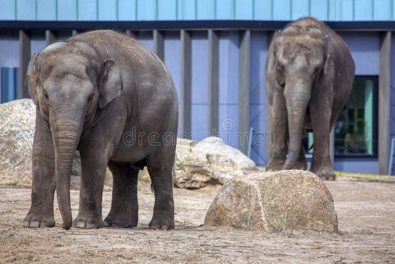 Elephants in the zoo. Two elephants in the zoo stock image