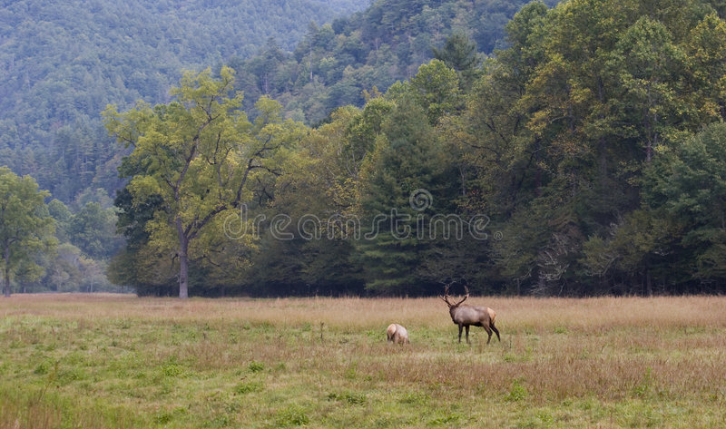 Download Two Elk in the Field stock photo. Image of field, long - 3371230