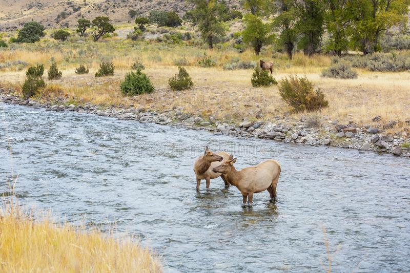 Elk in the river royalty free stock photo