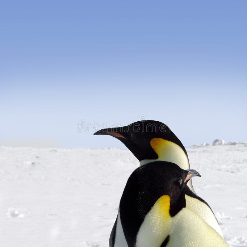 Two emperor penguins royalty free stock photo