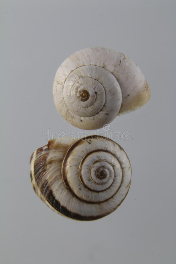 Two empty snail shells, dextrorotatory shell stock image