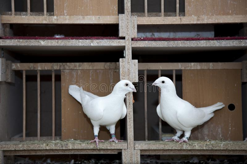 Two English Pouters pigeon. Two White English Pouters pigeon In a cage stock photography