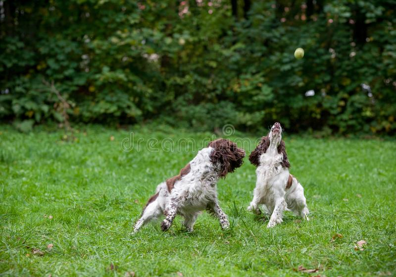 Two English Springer Spaniels Dogs Running and Playing on the grass. Playing with Tennis Ball. stock image