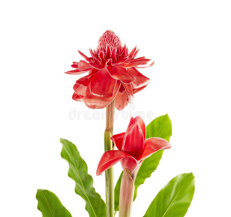 Two Etlingera elatior Red torch ginger flower with leaves isolated on white background, with clipping path. Two Etlingera elatior Red torch ginger flower with royalty free stock photography