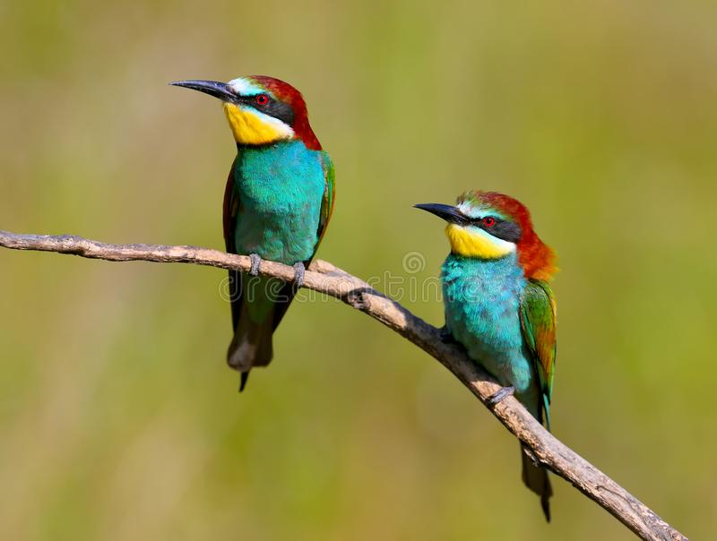 Two European bee eaters with exotic colors i. Solated on brigh green background stock photography