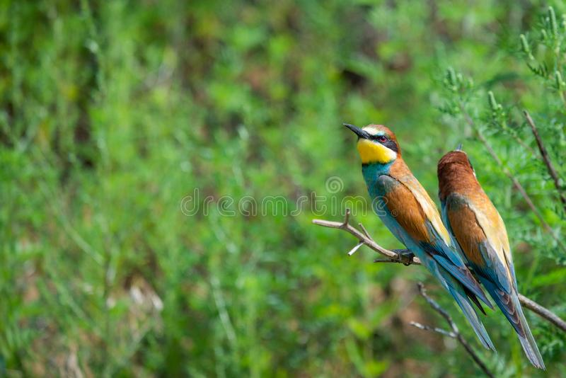 Two European bee-eaters sits on an inclined branch on a blurred green background in bright sunlight. One bird hold a bee in its beak, wildlife, apiaster stock photos