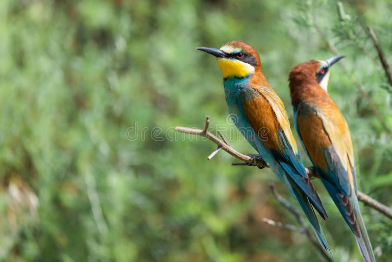 Two European bee-eaters sits on an inclined branch on a blurred green background in bright sunlight. One bird hold a bee in its beak, wildlife, apiaster royalty free stock images