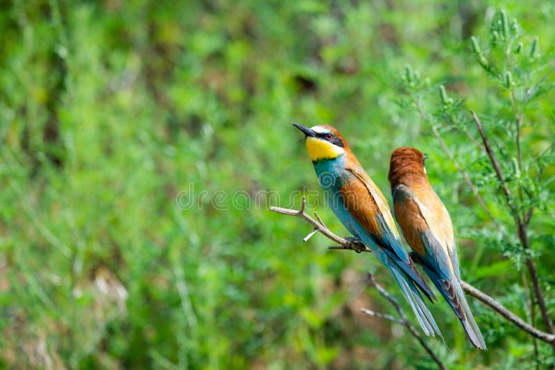 Two European bee-eaters sits on an inclined branch on a blurred green background in bright sunlight. One bird hold a bee in its royalty free stock images