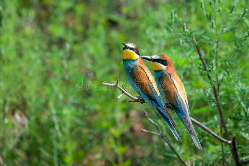 Two European bee-eaters sits on an inclined branch on a blurred green background in bright sunlight. One bird hold a bee in its royalty free stock photos