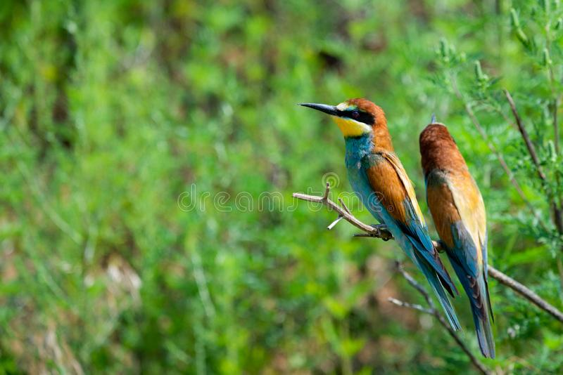Two European bee-eaters sits on an inclined branch on a blurred green background in bright sunlight. One bird hold a bee in its royalty free stock image