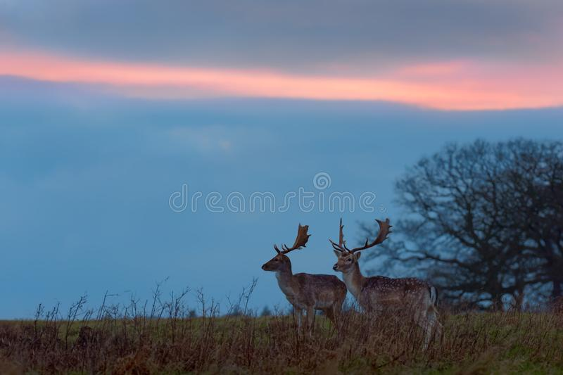 Two Fallow Deer Bucks at Sunset. Two fallow deer bucks are pictured atop a hill next to a tree while the darkening sky develops a pink streak from the sunset stock photo