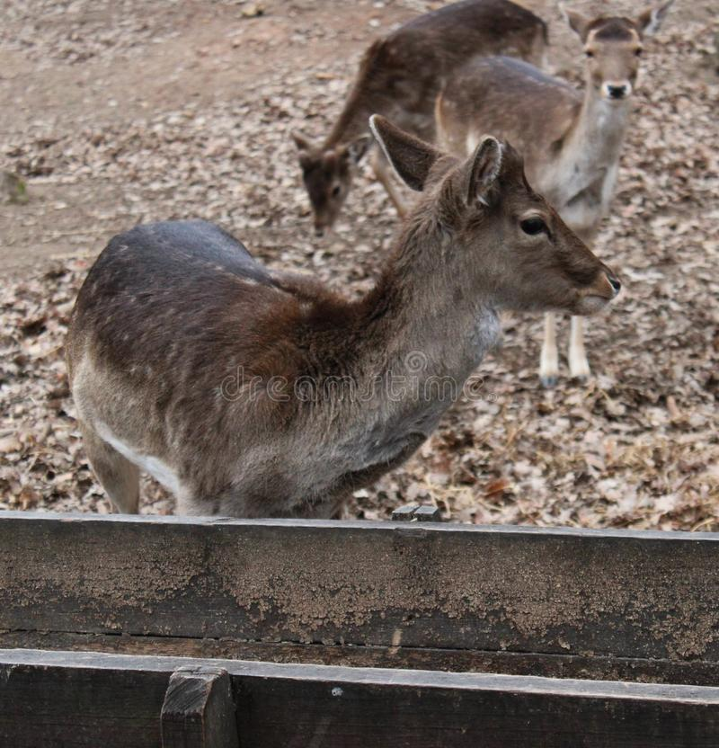Two fallow deers. In a zoo stock photography