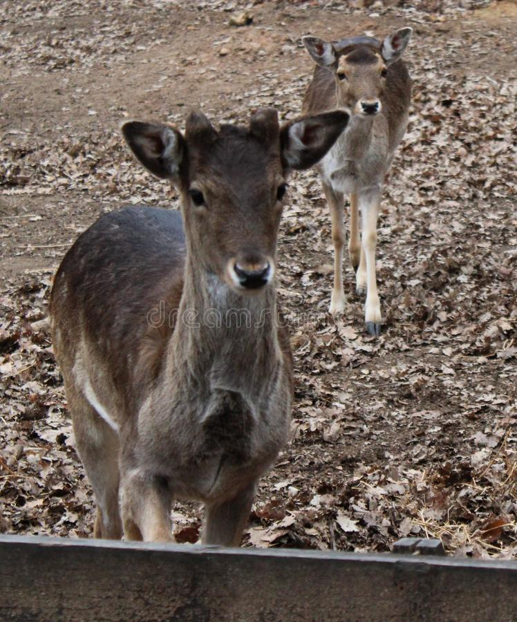 Two fallow deers. Two young fallow deers in a zoo royalty free stock images
