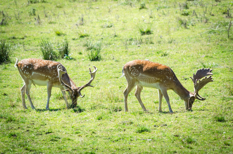 Two fallow deers on a field. Two fallow deers in natural scenery stock images