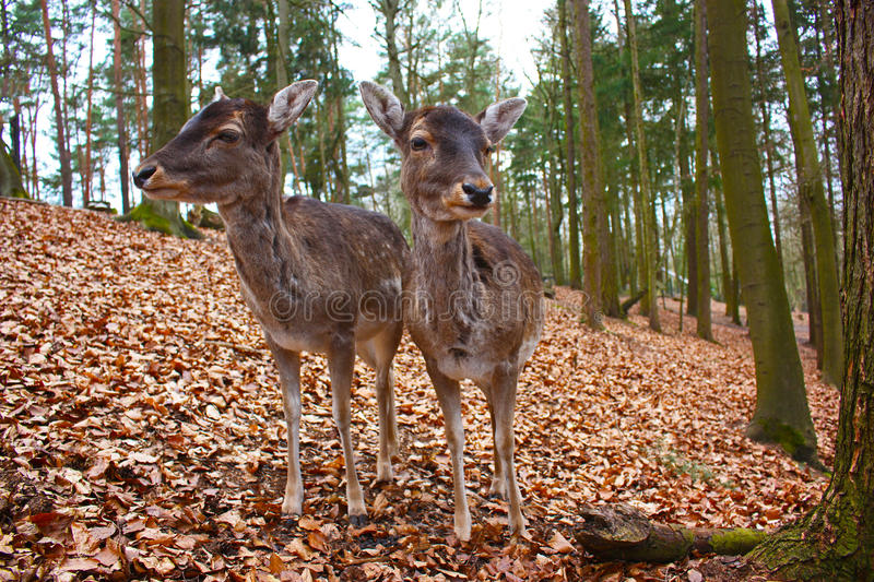 Two fallow deers. In a forest stock images