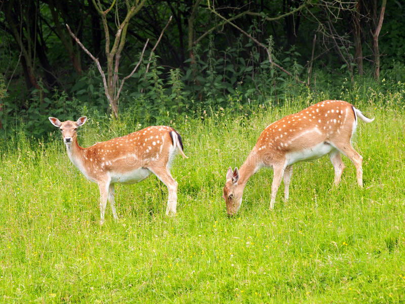 Two fallow deers on the green meadow. A summertime view of two fallow deers (Dama dama) on the green meadow. These mammals belong to the family Cervidae. This stock photography