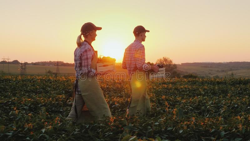 Two farmers man and woman are walking along the field, carrying boxes with fresh vegetables. Organic farming and family royalty free stock photos