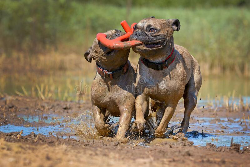 Two fawn French Bulldog dogs playing fetch with a toy together in the mud, all covered in dirt royalty free stock photography