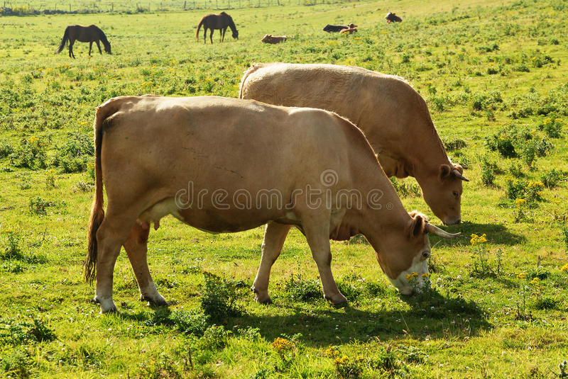 Two Feeding Cow Stock Photography