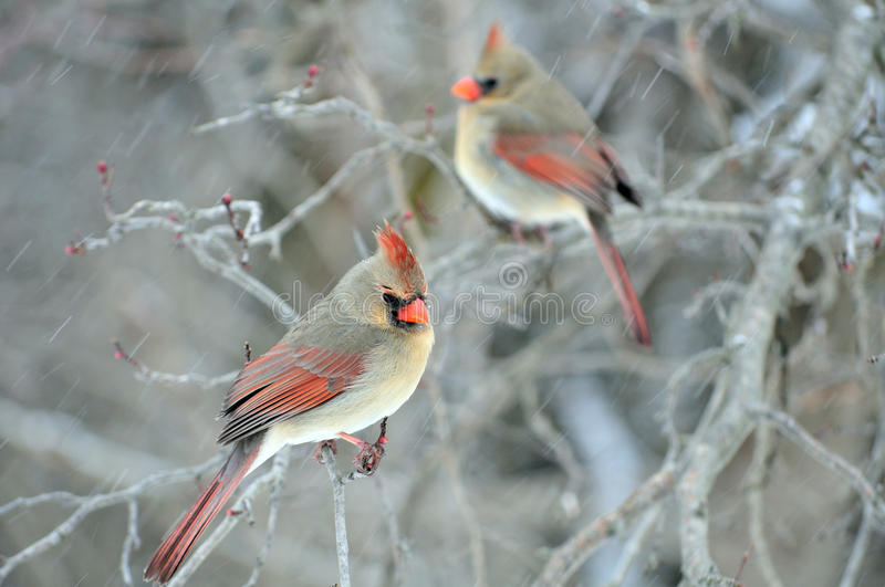 Download Two Female Cardinals stock photo. Image of birding, snow - 13179198