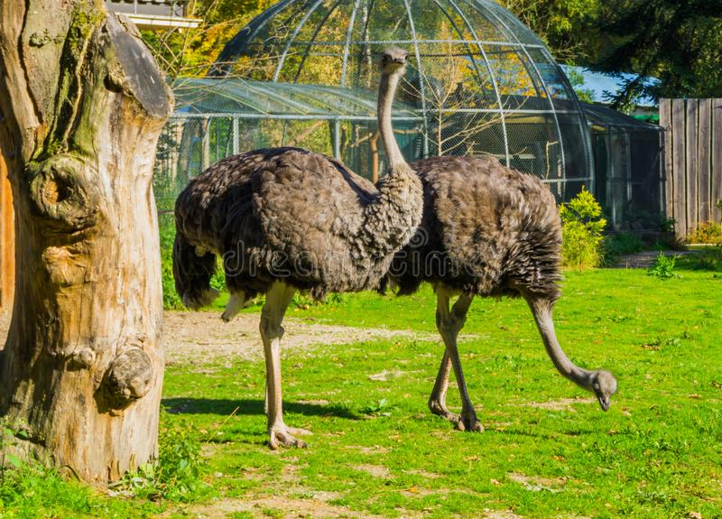 Two female common ostriches standing in the grass and one looking towards the camera stock image