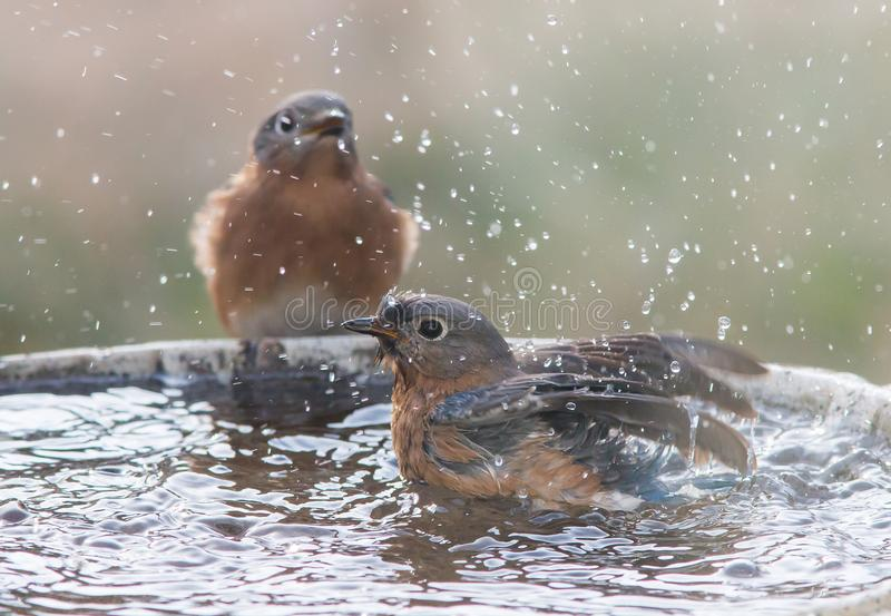 Two Female Eastern Bluebirds royalty free stock photography