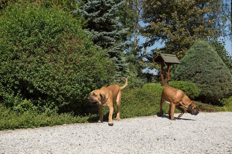 Two female of Fila Brasileiro (Brazilian Mastiff). Two young female of Fila Brasileiro (Brazilian Mastiff) playing outdoor on green grass on garden. Fila is stock images