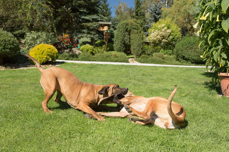 Two female of Fila Brasileiro (Brazilian Mastiff) stock photo