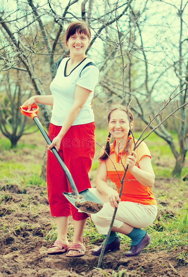 Two female gardeners planting tree stock photography