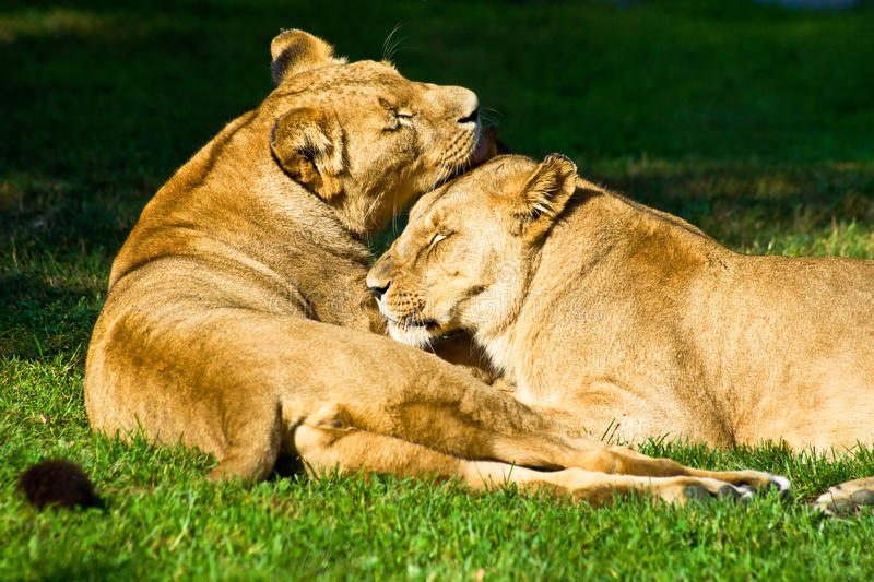 Two female lions restling.