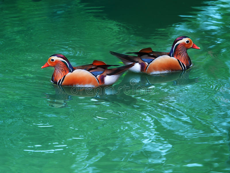 Two female of mandarin duck floating on clear water. For multipurpose royalty free stock photography