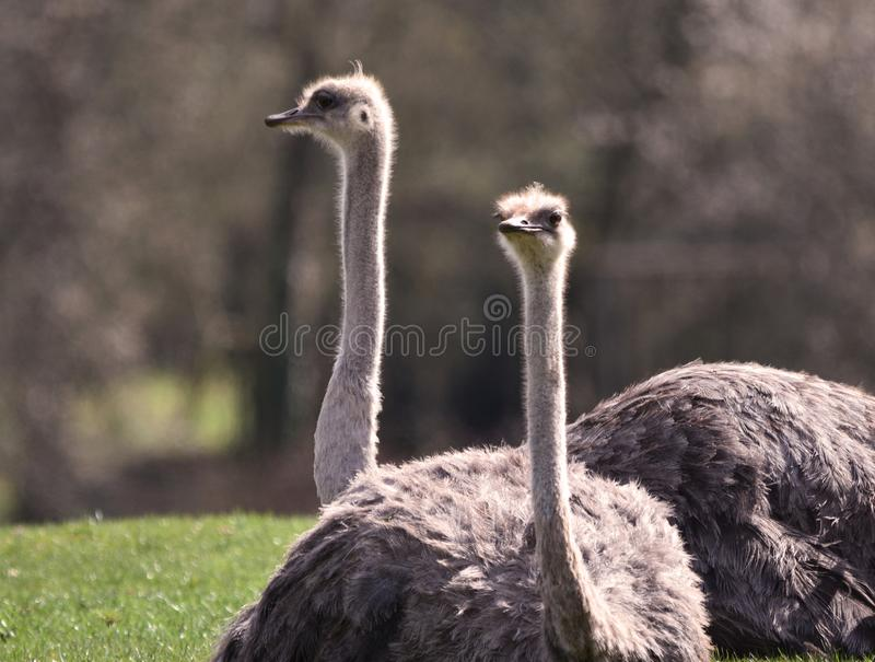 Two Female Ostriches sitting royalty free stock photos