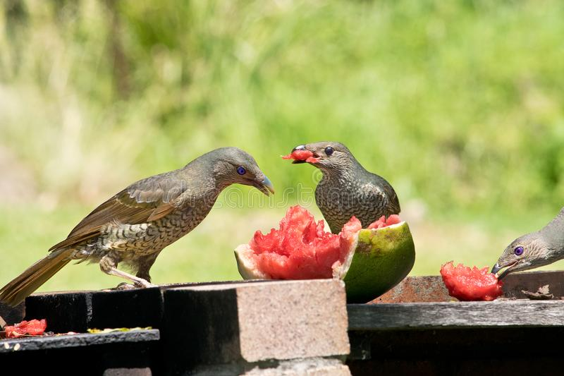 Two female satin bowerbirds stock images