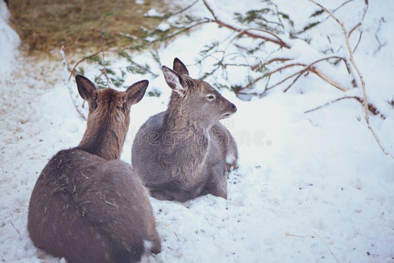 Two females. Sika deers , Cervus nippon, stock images