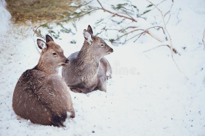 Two females Sika deers are lying on the snow stock photo