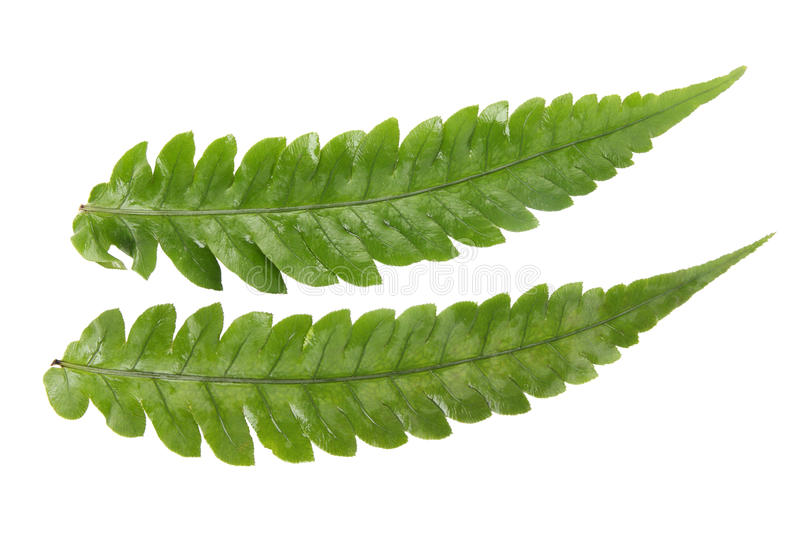 Two fern leaves royalty free stock photography