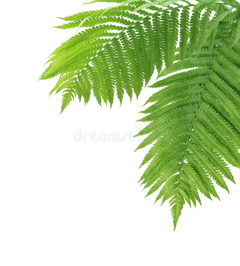 Two Ferns. Two close-up ferns isolated on white background royalty free stock image