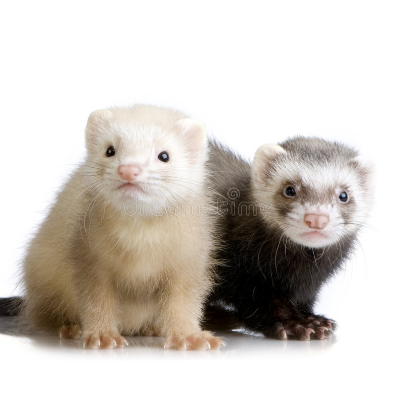 Two Ferrets kits (10 weeks) royalty free stock images