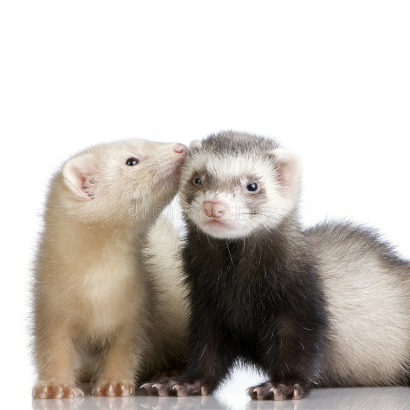 Two Ferrets kits (10 weeks) stock photo