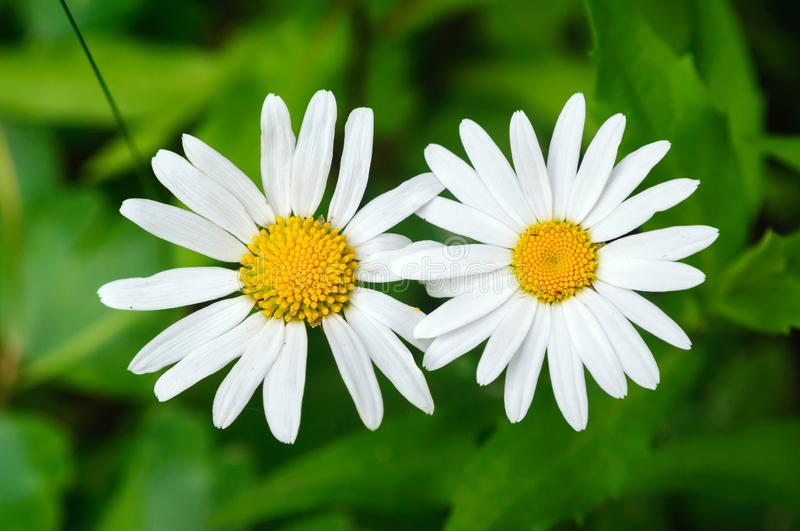 Two field daisies on a background of green foliage royalty free stock photography
