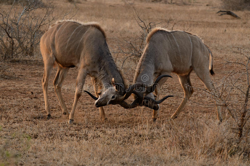 Two Fighting Kudus. These are two fighting kudus in the savanna of south africa royalty free stock images