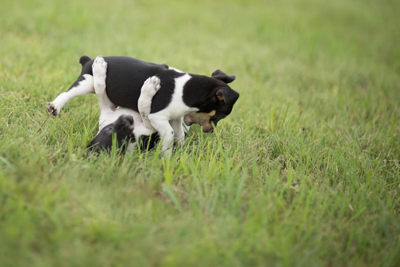 Two fighting puppies. Two Rat Terrier puppies play and fight in the yard stock image