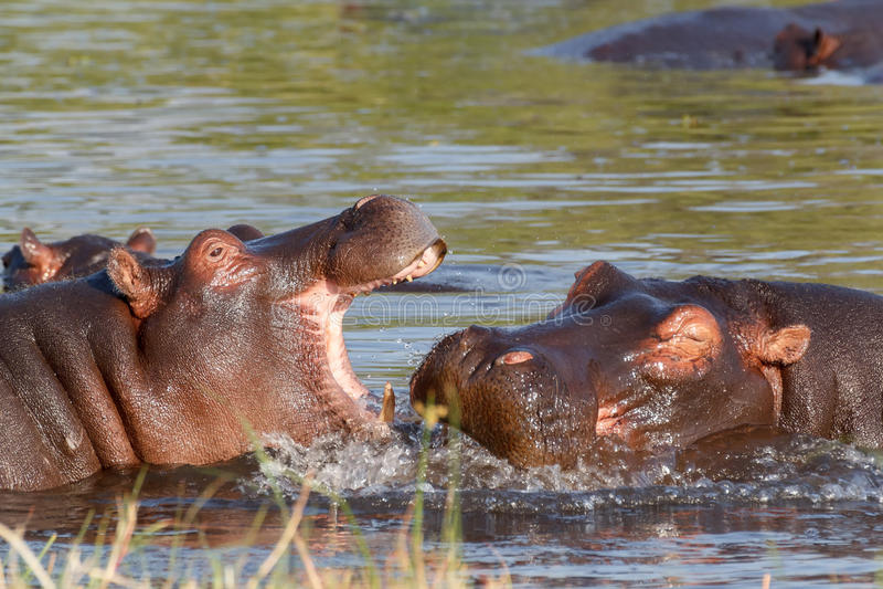 Two fighting young male hippopotamus Hippopotamus stock image