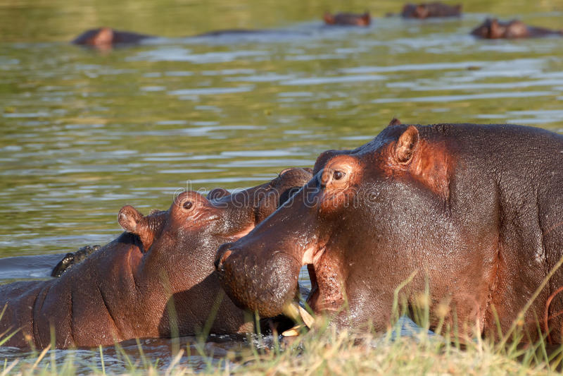 Two fighting young male hippopotamus Hippopotamus stock photography
