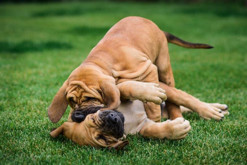 Two Fila Brasileiro Brazilian Mastiff puppies having fun. Two Fila Brasileiro Brazilian Mastiff puppies playing on the grass royalty free stock image