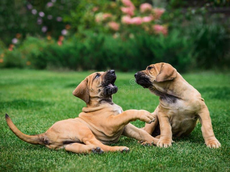 Two Fila Brasileiro Brazilian Mastiff puppies having fun. Two Fila Brasileiro Brazilian Mastiff puppies playing on the grass stock photography